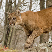 Cougars – The Return
