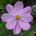 cosmos-mauve-parc-floral-dinkum