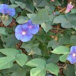 blue-morning-glories-renjishino1