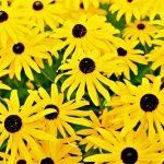 yellow-flowers-rudbeckia-ronald-j-scott