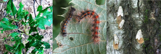 Gypsy Moth epidemic said to threaten Renfrew Forests